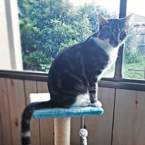 ❤ Urgent - rural - foster or forever home needed - Domestic Short Hair Cat
