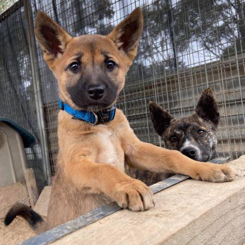 Dani - Dingo - Dingo Dog