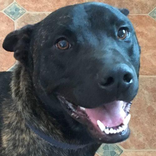 Rusty - American Staffordshire Bull Terrier Dog