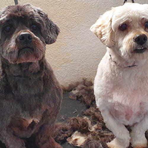 Coco & Toby Llewellyn - Maltese x Shih Tzu Dog