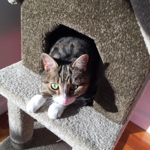 Neil - Located in Burnley - Domestic Short Hair Cat