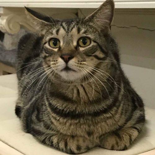 Mathias - Domestic Short Hair Cat