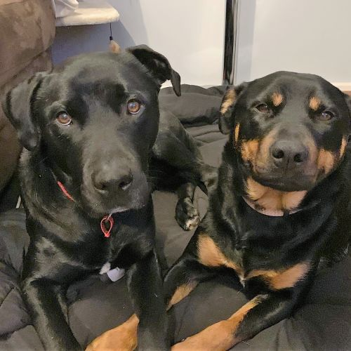 Blaze and Riley Randolph - Kelpie Dog