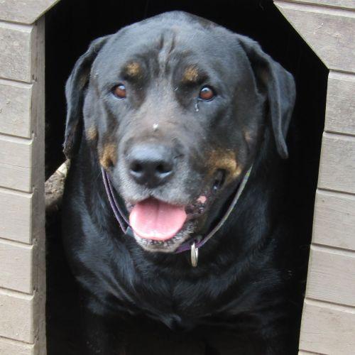 Jayda - Rottweiler Dog