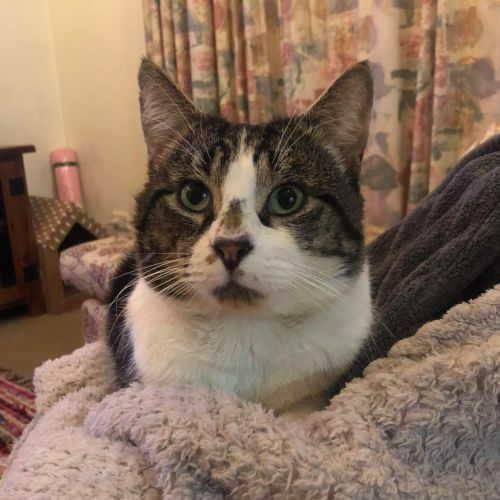 Bubba (Located in Caulfield East) - Domestic Short Hair Cat