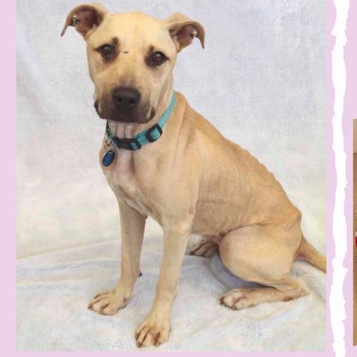 Polly - American Staffordshire Terrier x Kelpie Dog