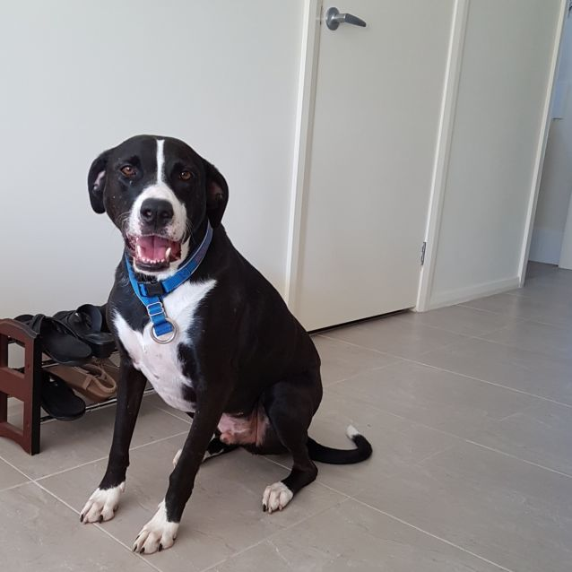 Photo of Scout ~ Lab X Bull Arab ~ Adopted 18/8/19