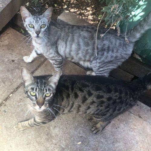 Gillyweed & Mandrake  - Ocicat