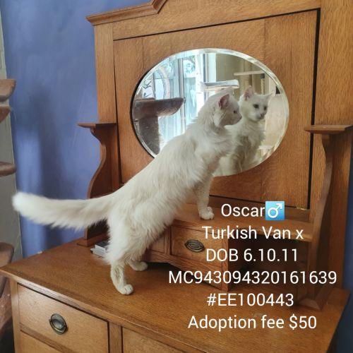 Oscar - Angora x Turkish Van Cat
