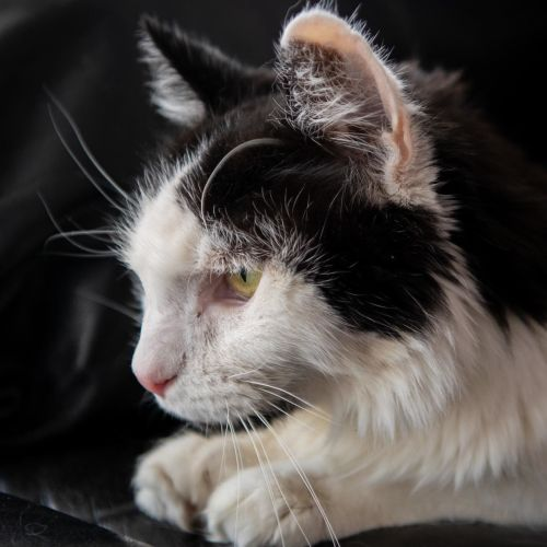 Sylvester - Domestic Long Hair Cat