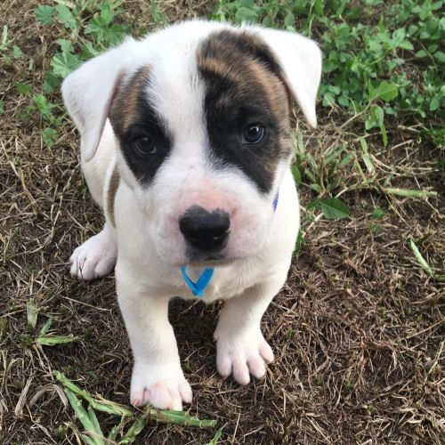 Donut ~ Adoption Pending ~ - Staffordshire Bull Terrier x Australian Cattle Dog