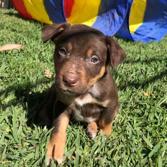 Rust - Medium Male Border Collie x Kelpie Dog in QLD - PetRescue