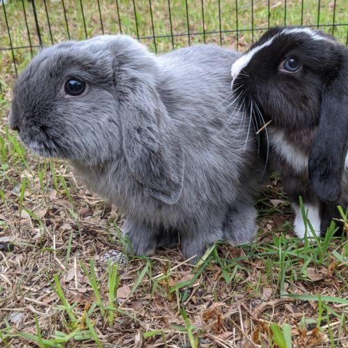 Charlie & Lola ** Trial Pending ** - Dwarf lop Rabbit