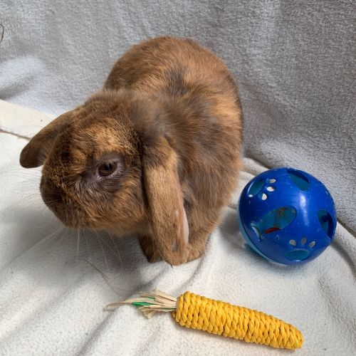 Carob - Mini Lop Rabbit