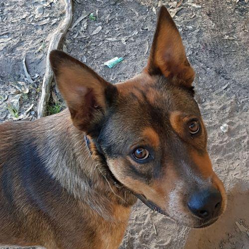 JayJay - Australian Cattle Dog