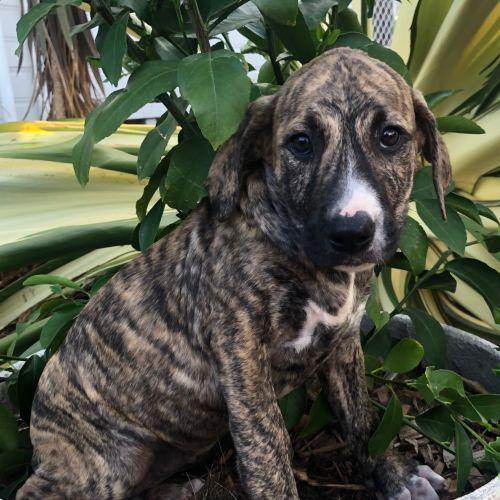 Jules - Mixed Breed Dog