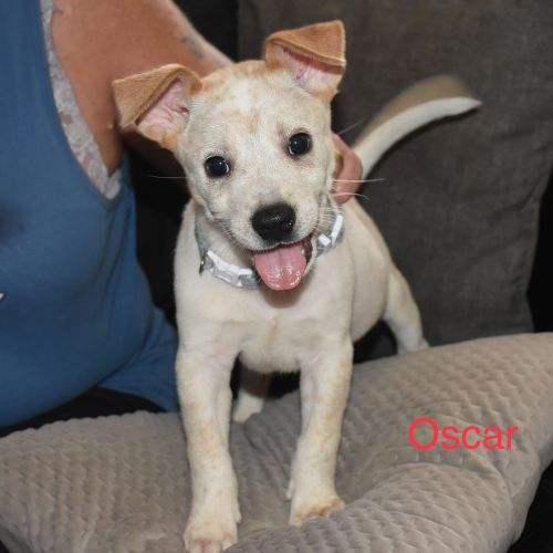 Oscar - Australian Cattle Dog