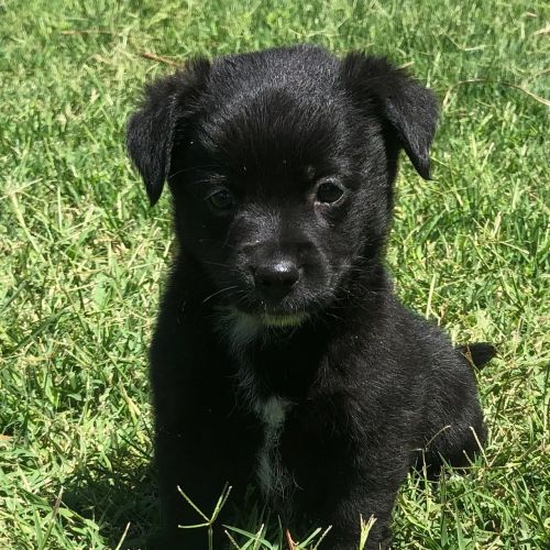 Sage  - Maltese Dog