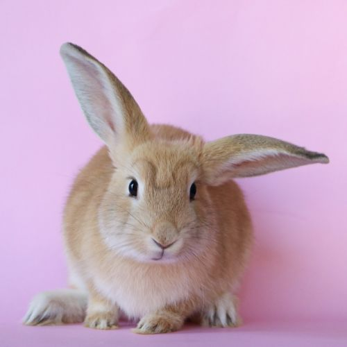 Lily - Domestic Rabbit