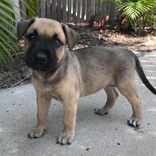 Shula ~ Adoption Pending ~ - Rhodesian Ridgeback x Mastiff Dog