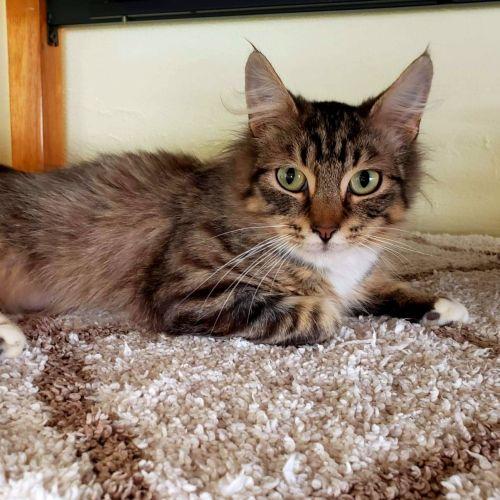Taki  - Domestic Medium Hair Cat