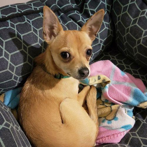 Amigo - Chihuahua Dog