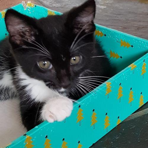 Nolan - Domestic Short Hair Cat