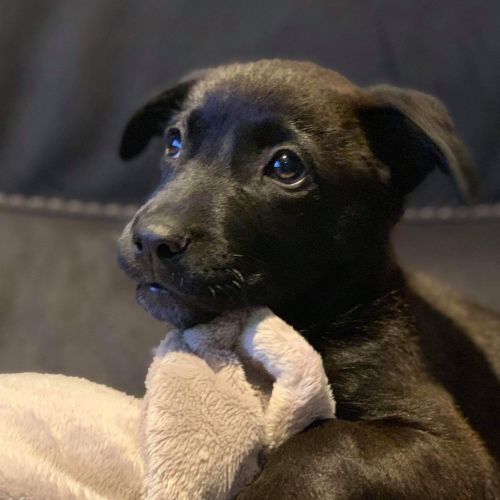 Cola - Border Collie x Kelpie x Blue Heeler Dog
