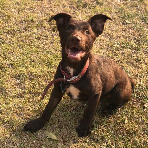 Lindt ~ Adoption Pending ~ - Kelpie Dog