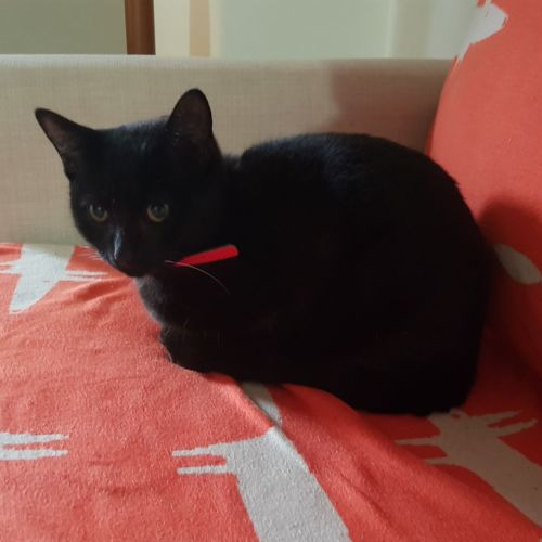 Salem - Located in Reservoir - Domestic Short Hair Cat
