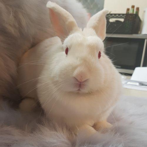Shiloh - Domestic Rabbit