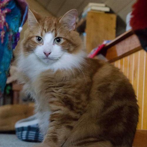 Aramis - Domestic Medium Hair Cat