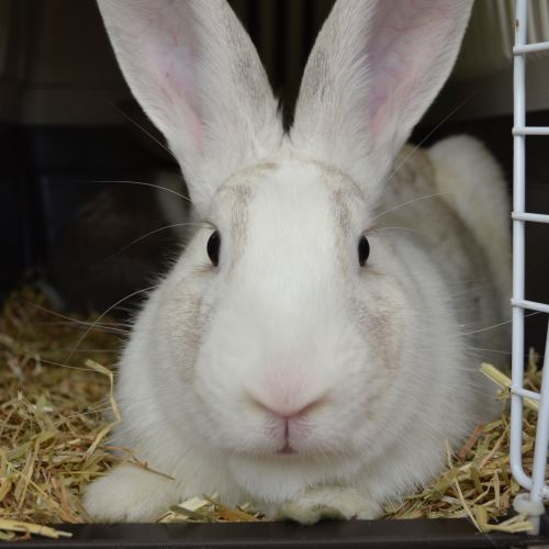 Princess - Flemish Giant Rabbit