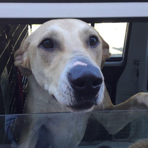 Oden - Kelpie Dog