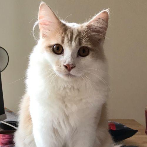 Sprout - Domestic Medium Hair Cat