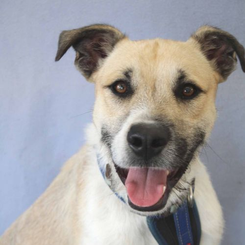 Milo - Wolfhound Dog
