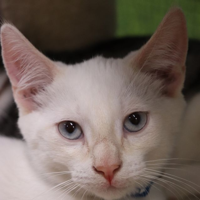 Photo of Thomas   Visit Me At Cat Whispurr Cat Cafe!