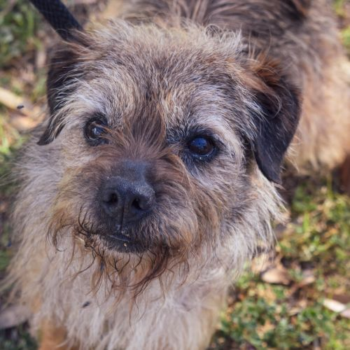 Freddy - Border Terrier Dog