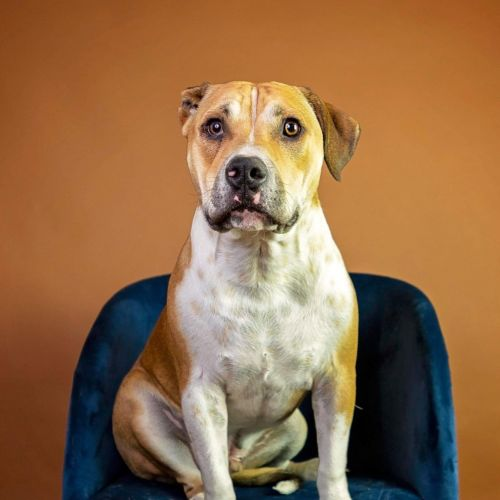 Marshall  - Beagle x British Bulldog
