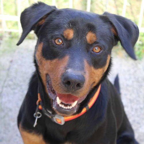 Hugo - Labrador x Rottweiler Dog
