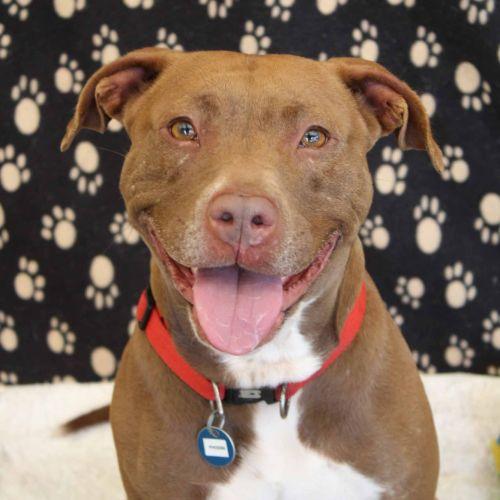 Phoebe - Staffy Dog