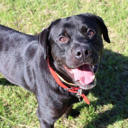 Guinness - Rottweiler x Labrador Dog
