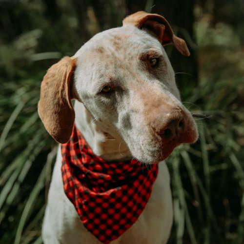 Harry ~ 2 year old Great Dane X Mastiff - Great Dane x Mastiff Dog