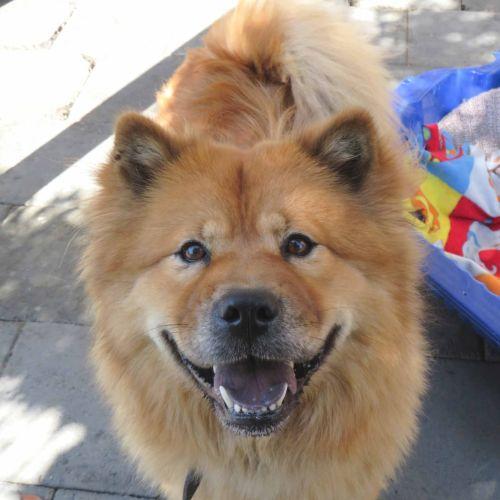Kiara - Chow Chow Dog