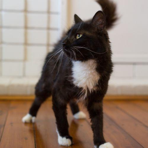 Princess Leia  - Domestic Long Hair Cat