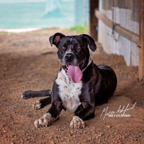 Porter - Mastiff x Boxer Dog