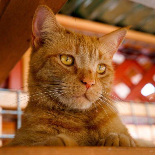 Ginger Meggs ~ 3yr Old DSH
