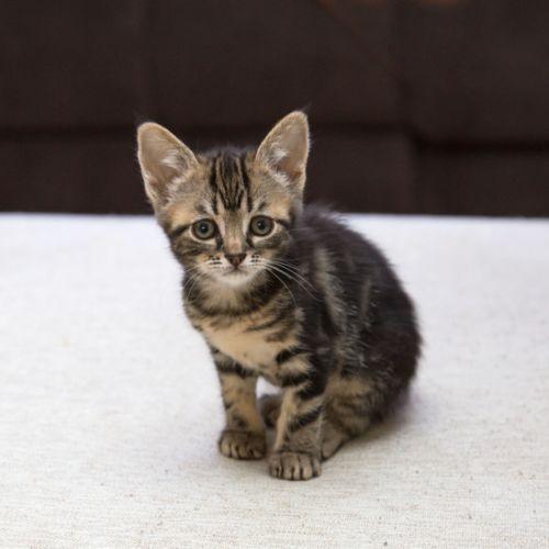 Tot ~ 8 week old female kitten