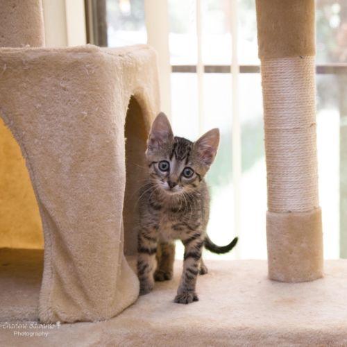 Monkey ~ 8 week old female kitten