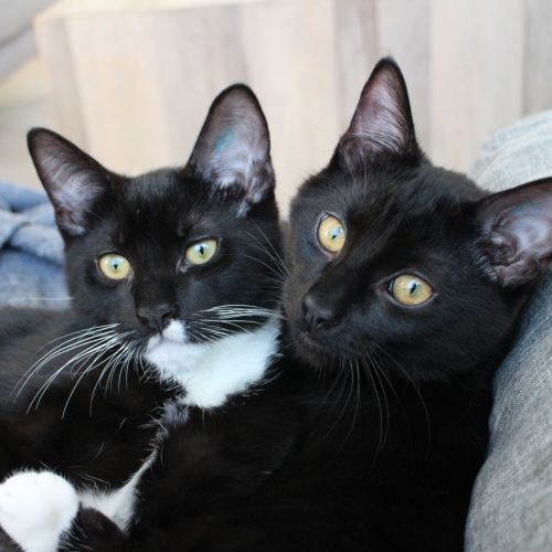 Carlos and Diego ^Dandy Cat Rescue^ - Domestic Short Hair Cat